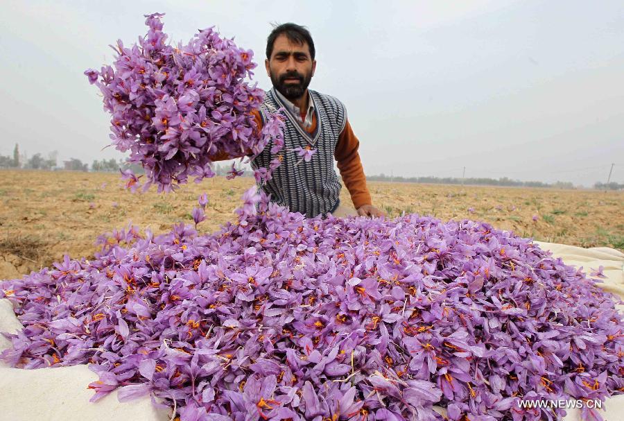 5 tons of saffron bulbs were smuggled - Iranian Saffron ...Kashmiri Saffron Bulbs