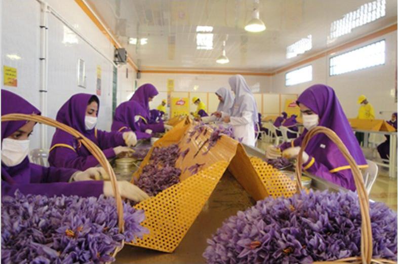 Saffron Processing - Iranian Saffron supplier and exporter
